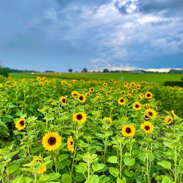 Pick your own sunflowers at School Farm, in Gamston.