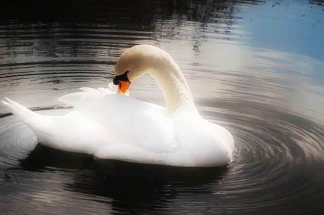 Reihan Trandafir snapped this elegant shot of a swan preening itself in Worksop.