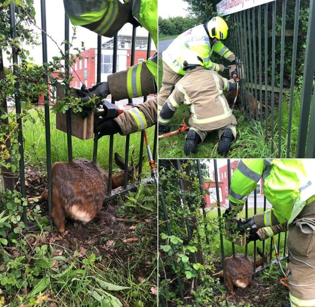 Firefighters work to release the deer that had got trapped in railings. (Picture: Notts Fire and Rescue)