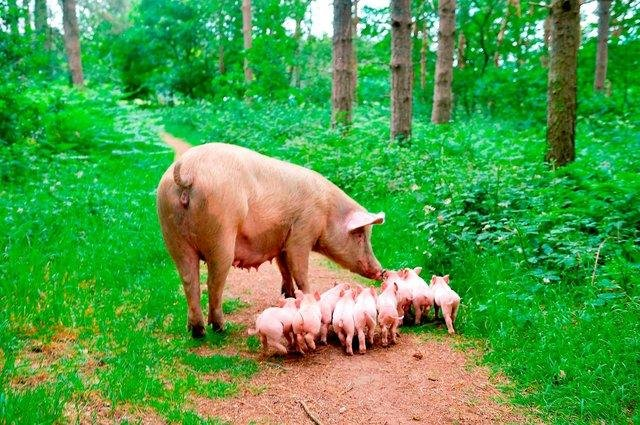A pregnant pig which was destined for slaughter has avoided the chop - after she escaped from a farm before giving birth in the woods near Ollerton. Photo: Alex Cousins/SWNS.