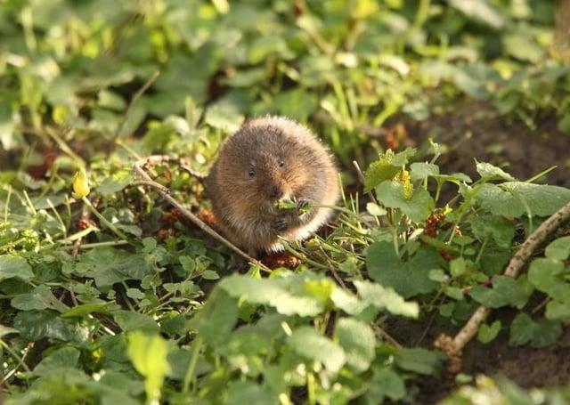 A native water vole.