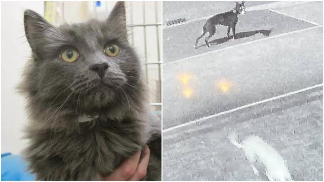 (Left) 10-year-old rescue moggie Diesel is believed to have been killed in a 'lamping' attack (Right) CCTV footage of the two dogs believed to have been involved.