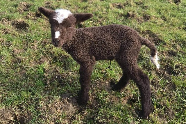 The newborn lamb was separated from her mum.